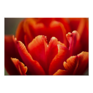 Pretty Red Tulip Petals photo. Nature photography. Poster