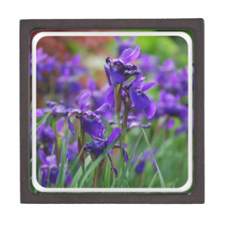 Pretty Siberian Iris Premium Gift Boxes