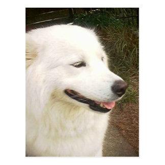 Pretty Sweet White Samoyed Dog Postcard