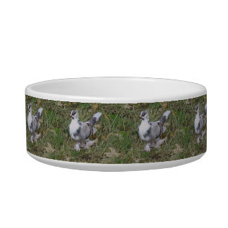 Pretty White and Gray Fancy Feather Footed Pigeon Bowl