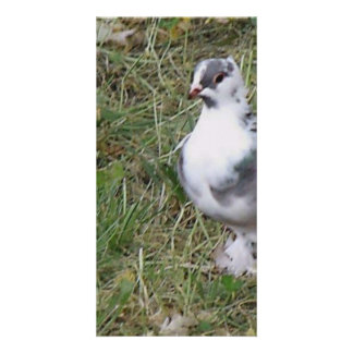 Pretty White and Gray Fancy Feather Footed Pigeon Card