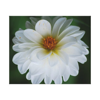 Pretty white dahlia canvas print
