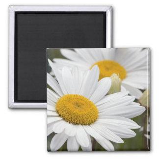 Pretty White Daisies Magnet
