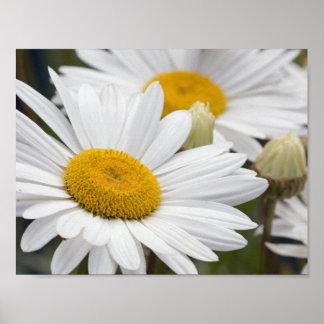 Pretty White Daisies Poster