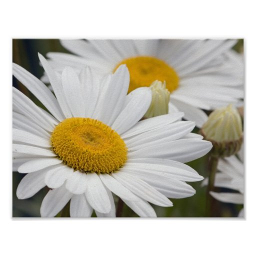 Pretty White Daisies Posters