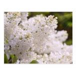 Pretty White Lilacs Photo Postcard