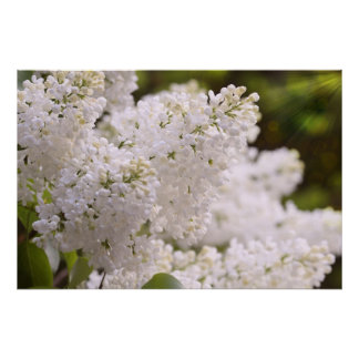 Pretty White Lilacs Photo Poster