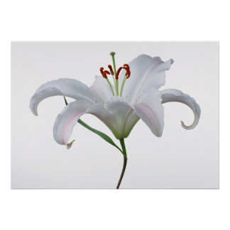 Pretty White Lily Flower Print