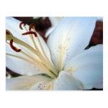 Pretty White Lily Postcard