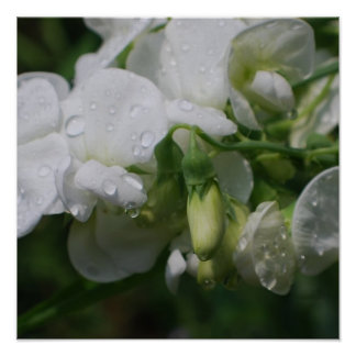 Pretty White Sweet Pea Flowers Poster