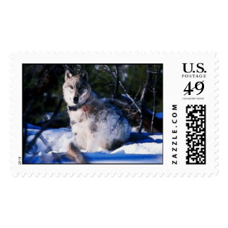 Pretty Wolf (Stamps) Postage