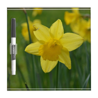 Pretty Yellow Daffodil Dry-Erase Whiteboard