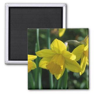 Pretty yellow daffodil flowers magnet