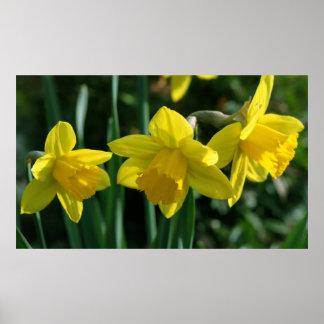 Pretty yellow daffodil flowers poster