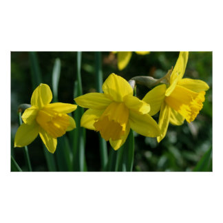 Pretty yellow daffodil flowers posters