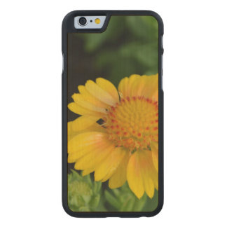 Pretty Yellow Gaillardias Carved® Maple iPhone 6 Case