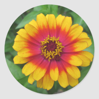 Pretty Yellow Orange Zinnia Classic Round Sticker