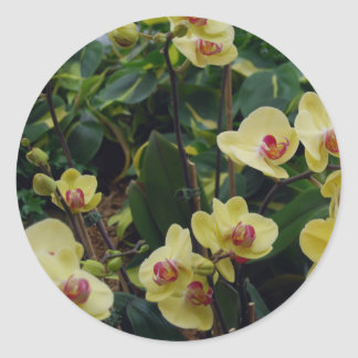 Pretty Yellow & Red Phalaenopsis Orchids Classic Round Sticker