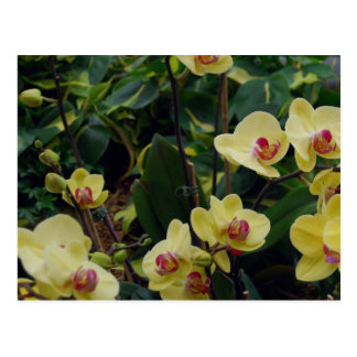 Pretty Yellow & Red Phalaenopsis Orchids Postcard