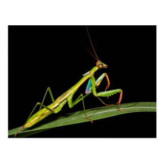 Preying mantis, Odzala, Kokoua National Park Postcard