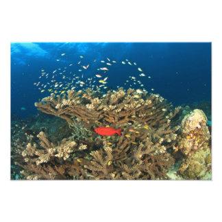 Priacántido que oculta bajo coral duro, isla de Ka Cojinete