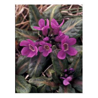 Pribilof wildflowers, Primula Postcard