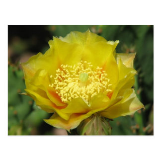 Prickly Pear Cactus Blooms Post Cards