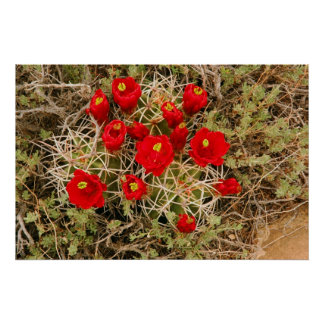 Prickly Pear Cactus Flowers poster