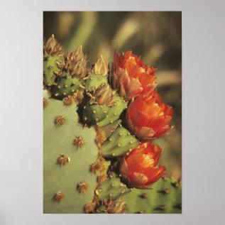 Prickly Pear Cactus In Bloom, Arizona-sonora 2 Poster at Zazzle