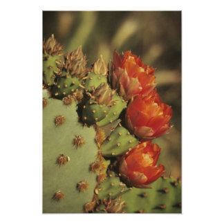 Prickly pear cactus in bloom, Arizona-Sonora 2 Poster