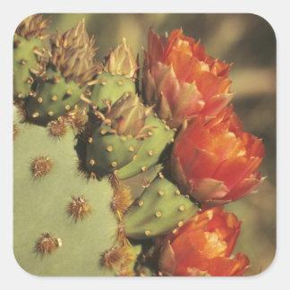 Prickly pear cactus in bloom Arizona-Sonora 2 Square Sticker