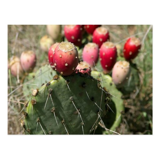 Prickly Pear Cactus In Texas Postcard