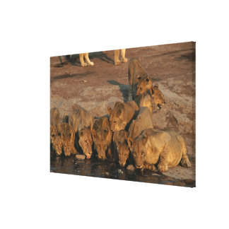 Pride of Lions Drinking Canvas Print