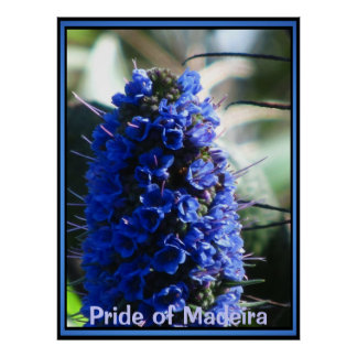 Pride of Madeira Flower Poster