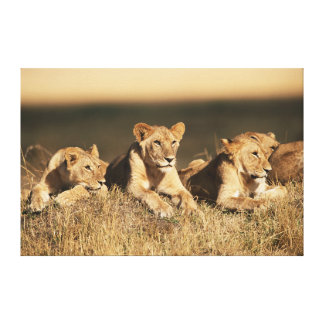 Pride of young male Lions Canvas Print
