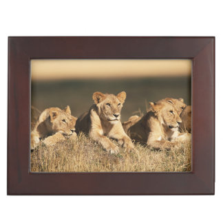 Pride of young male Lions Keepsake Box