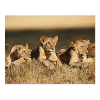 Pride of young male Lions Postcard