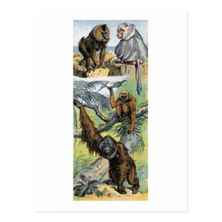 Primates - cuatro tarjeta postal