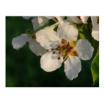 Primavera blanca del flor de la pera de la postal