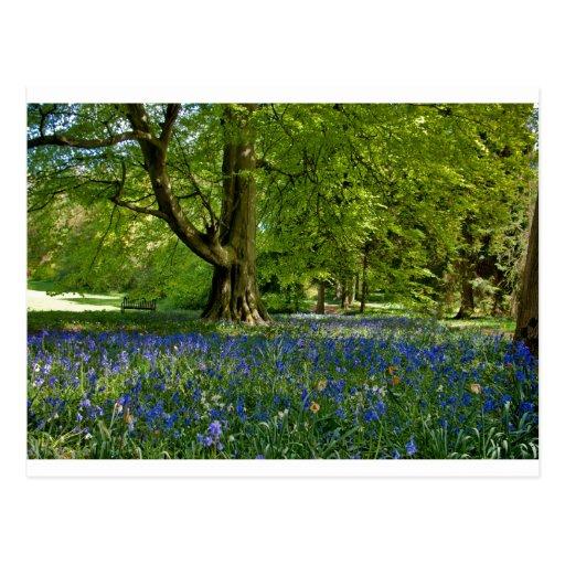 Primavera del Bluebell Postales