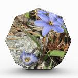 Primavera en las flores púrpuras del iris de las m
