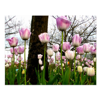 Primavera púrpura tarjetas postales
