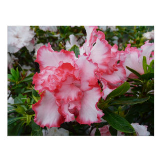 Primavera roja y blanca doble de las azaleas póster