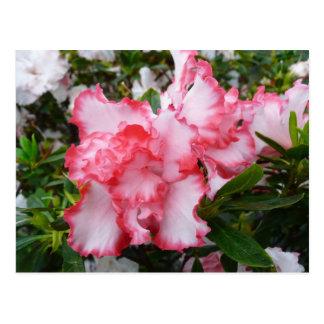Primavera roja y blanca doble de las azaleas postal