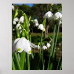 Primavera Snowdrops Poster