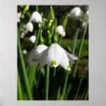 Primavera Snowdrops Posters
