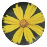 Primer amarillo de la flor del cosmos platos de comidas