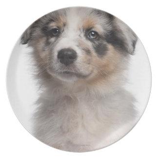 Primer australiano azul del perrito del pastor de  plato para fiesta