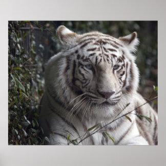 Primer blanco del tigre póster