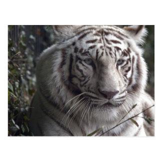 Primer blanco del tigre tarjeta postal